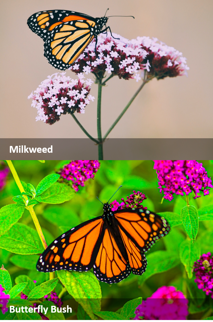 Monach on a milkweed and butterfly bush